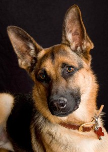 German_Shephard_8020a
