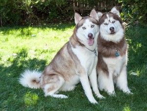 Huskies_0507-Edit